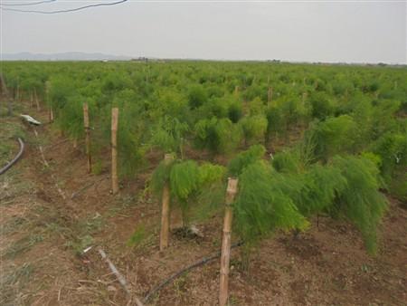 Cung cấp cây giống Măng Tây